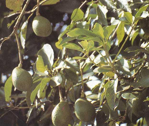 Khasiat dan manfaat alpukat, buah, biji, dan daunnya