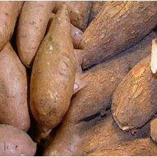 Ubi Kayu. Photo Kementrian Pertanian
