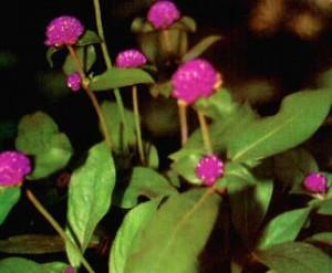 Khasiat Obat dan Manfaat Bunga Kenop