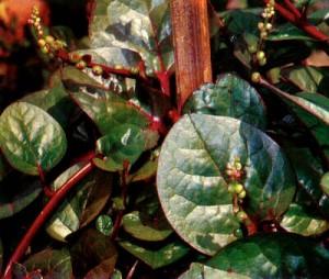 Khasiat Obat dan Manfaat dari Tanaman Gendola