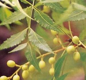 Khasiat Obat dan Manfaat dari Tanaman Mindi Kecil