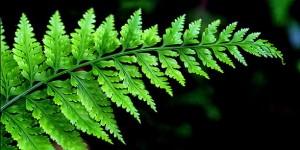 Kandungan Gizi dan Komposisi dari Pohon Pakis